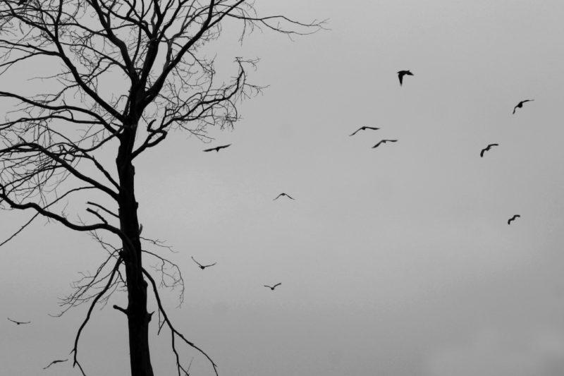 کلاغ و درخت بی برگ زمستانی